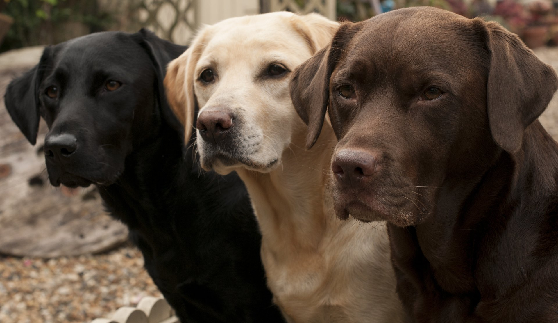 Black, white and chocolate labradors in a line.