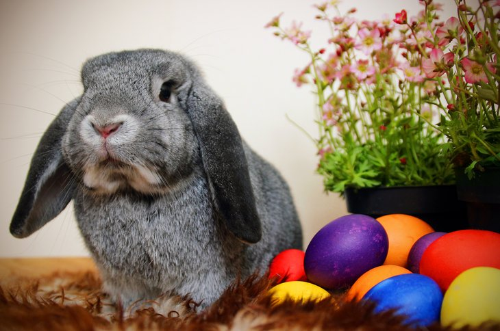 Floppy eared bunny with colored eggs
