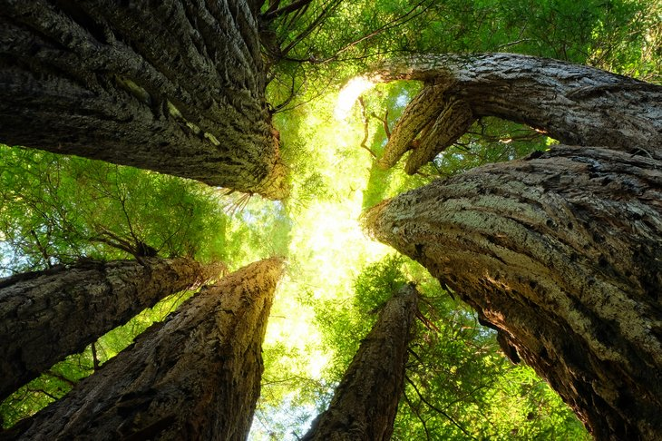 View of giant redwoods from below, sun shining through