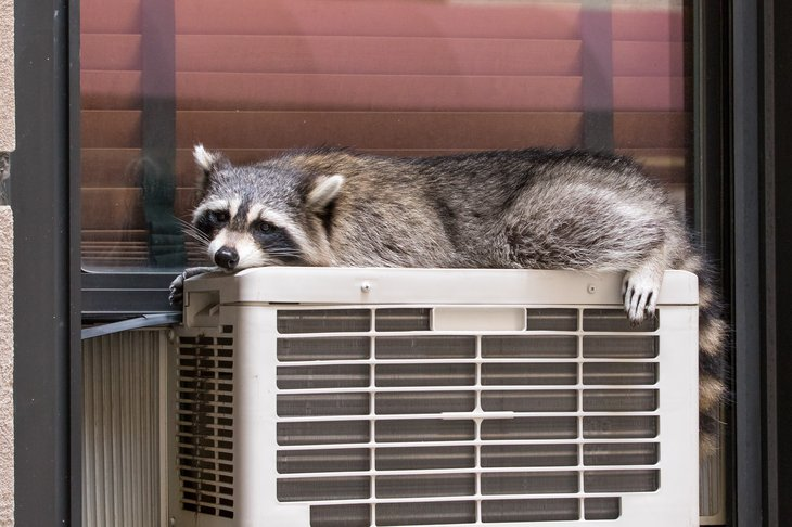 Racoon on air conditioner