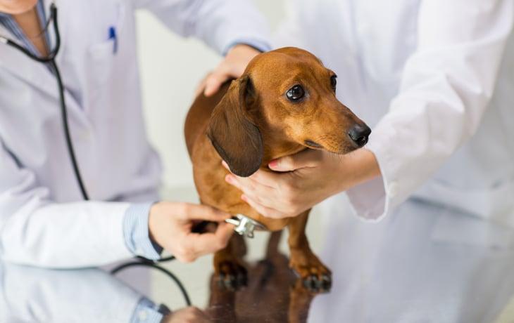 Veterinarian checking small dog.