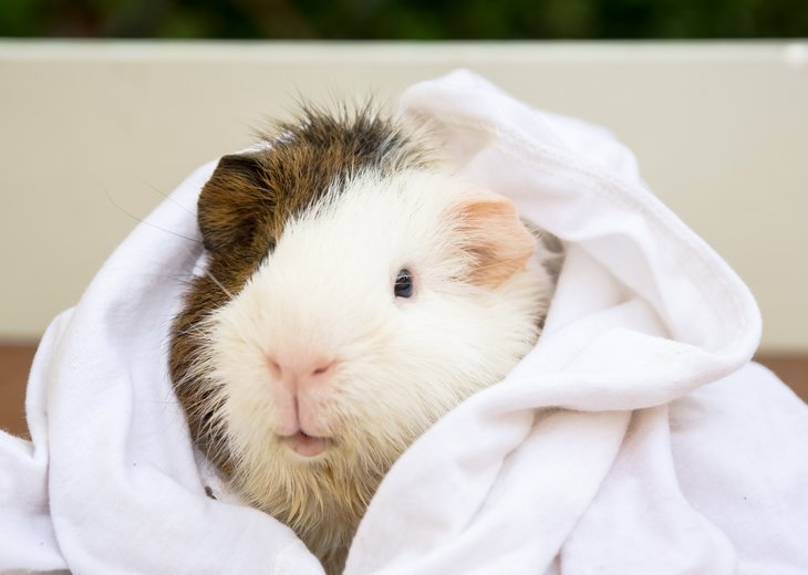 Hamster wrapped in white towel