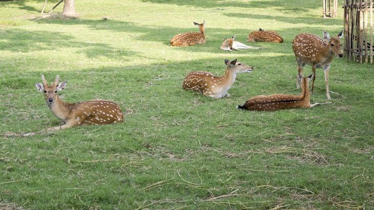 Deer lying down in a field.
