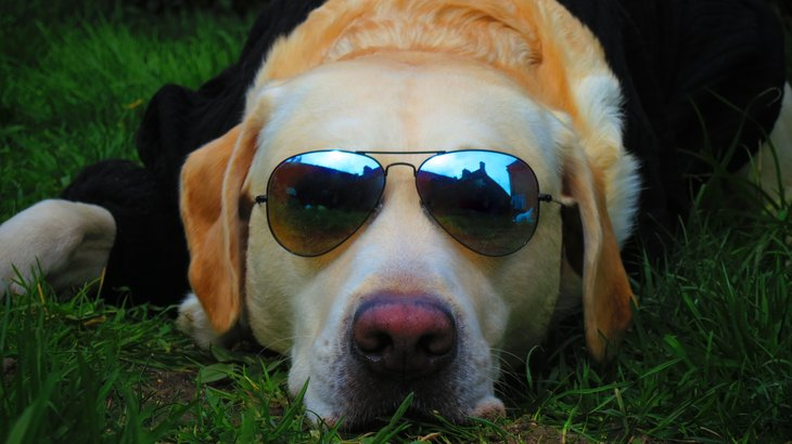 Dog in sunglasses