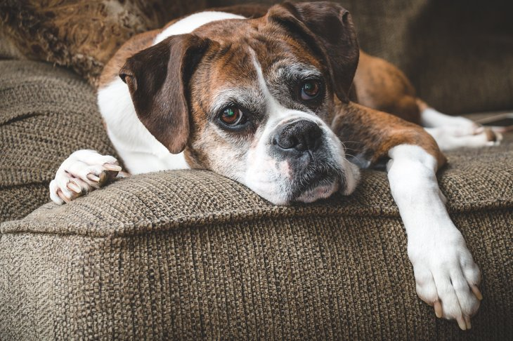 Old boxer dog on a chair