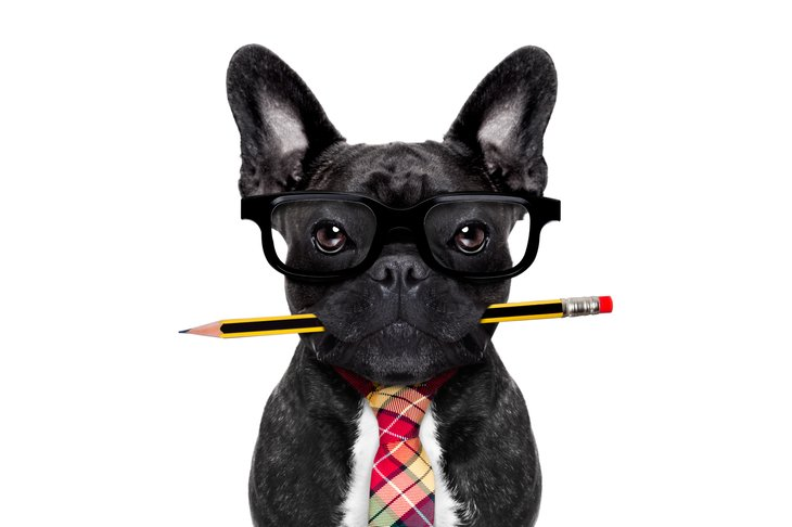 French bulldog with pencil in mouth, wearing a necktie
