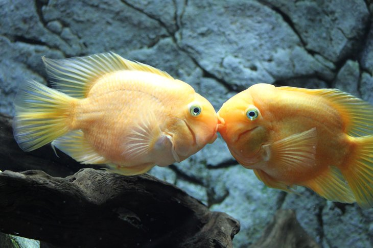 Kissing fish.