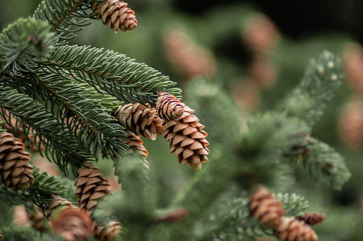 Close-up of pine tree and cones.