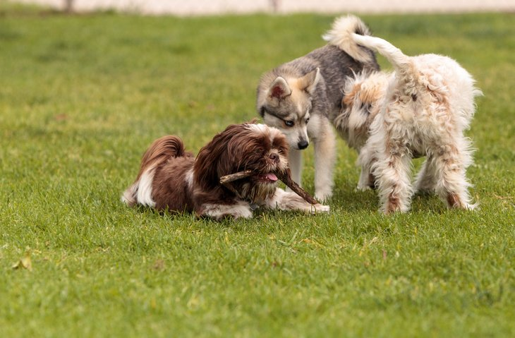 Three dogs playing together at dog park.