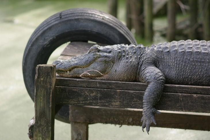 Alligator resting on a dock.