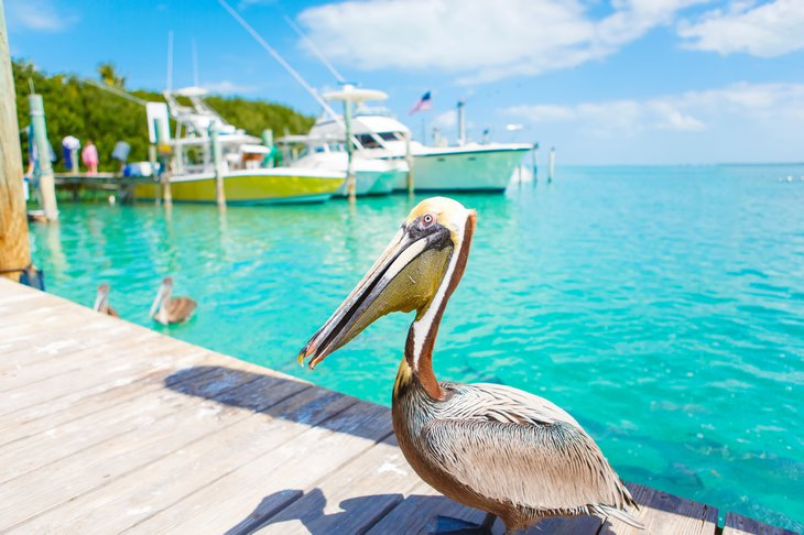 Pelican on a dock in Key West, Florida.