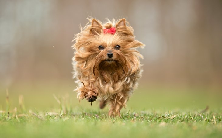 Yorkshire terrier running outside