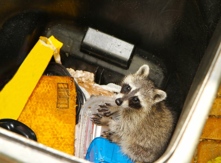 Racoon in garbage