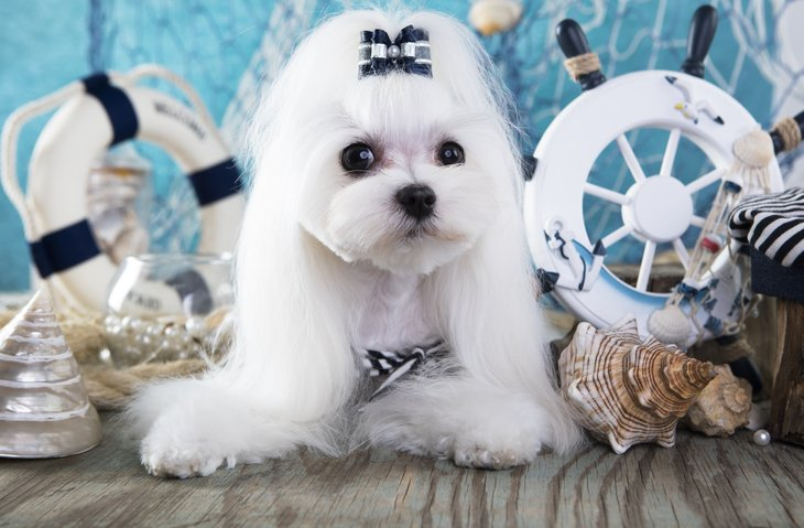 Maltese dog with bow in hair