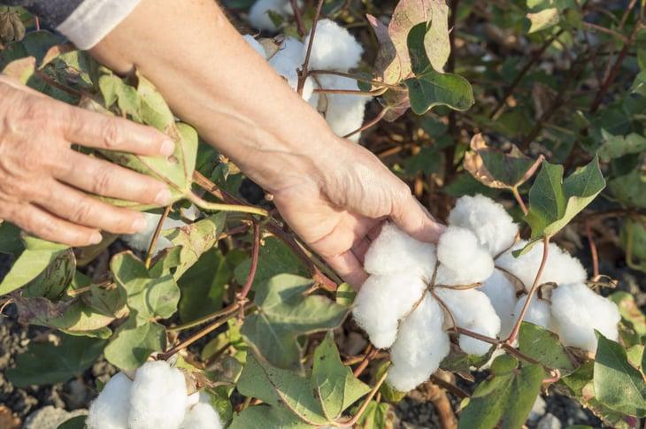 Cotton plant up close.