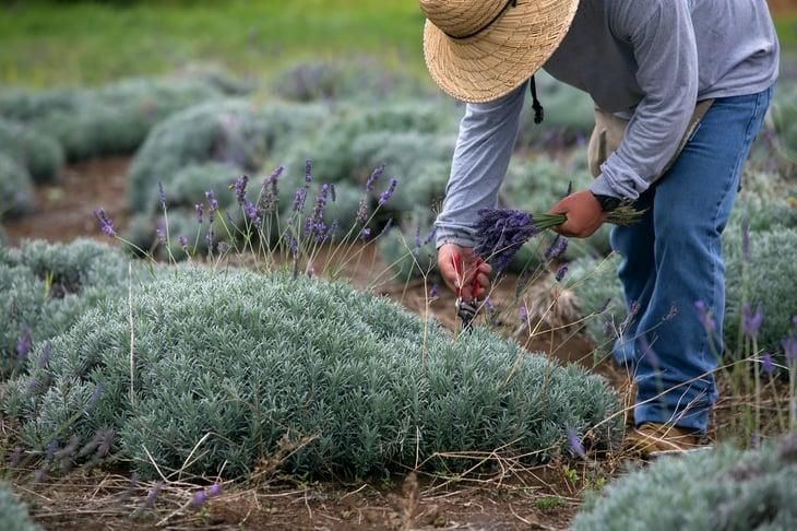 Lavender farmer in Hilo, Hawaii