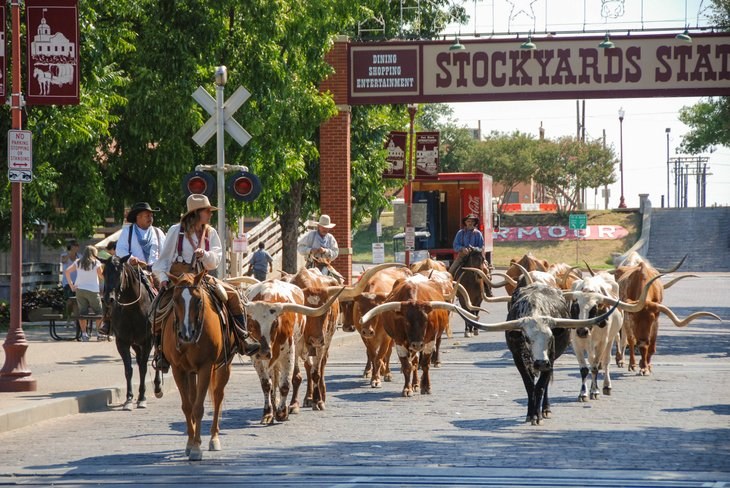 cattle parading through the street Fort Worth Stockyards accompanied cowboys on horseback