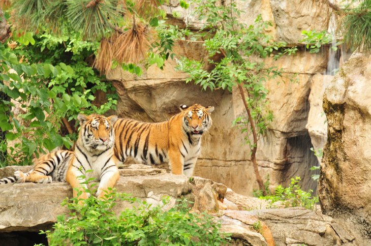 Tigers at the Saint Louis Zoo