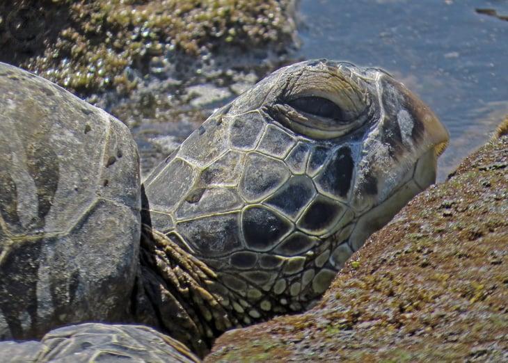 Sea Turtle at Kaloko-Honokohau, Hawaii.